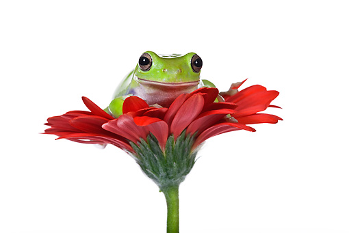 FRG 01 KH0024 01 © Kimball Stock Close-Up Of Green Tree Frog Sitting On Red Gerbera Flower On White Seamless