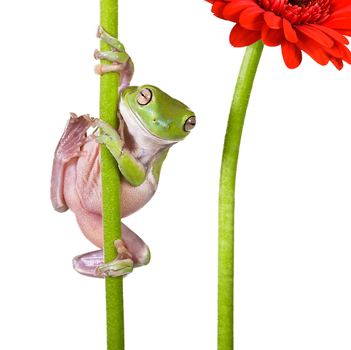 FRG 01 KH0025 01 © Kimball Stock Close-Up Of Green Tree Frog Climbing On Flower Stem On White Seamless