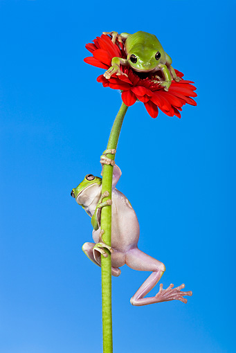 FRG 01 KH0026 01 © Kimball Stock Green Tree Frogs Climbing On Flower Stem