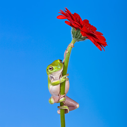 FRG 01 KH0027 01 © Kimball Stock Green Tree Frog Climbing On Flower Stem