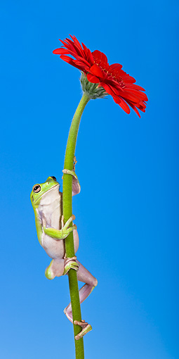 FRG 01 KH0028 01 © Kimball Stock Green Tree Frog Climbing On Flower Stem
