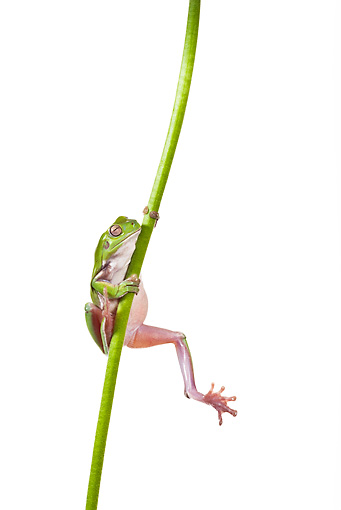 FRG 01 KH0029 01 © Kimball Stock Green Tree Frog Climbing On Flower Stem On White Seamless