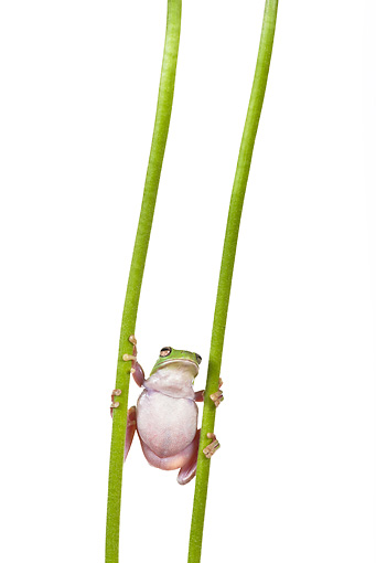 FRG 01 KH0030 01 © Kimball Stock Green Tree Frog Climbing Between Two Flower Stems On White Seamless