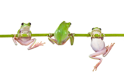 FRG 01 KH0032 01 © Kimball Stock Green Tree Frogs Hanging On Flower Stem On White Seamless