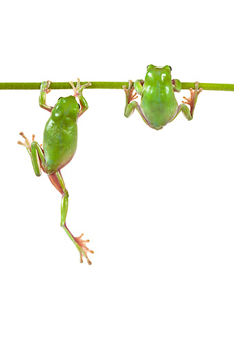 FRG 01 KH0033 01 © Kimball Stock Green Tree Frogs Hanging On Flower Stem On White Seamless