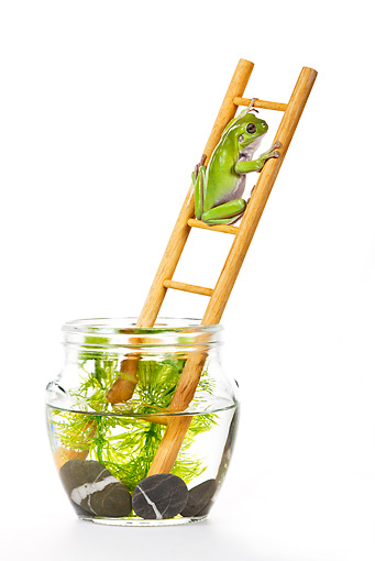 FRG 01 KH0034 01 © Kimball Stock Green Tree Frog Climbing On Ladder In Fish Bowl On White Seamless