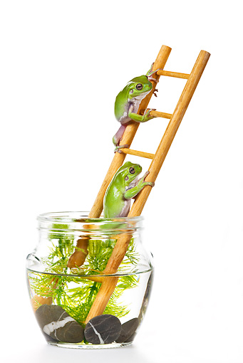 FRG 01 KH0035 01 © Kimball Stock Green Tree Frogs Climbing On Ladder In Fish Bowl On White Seamless