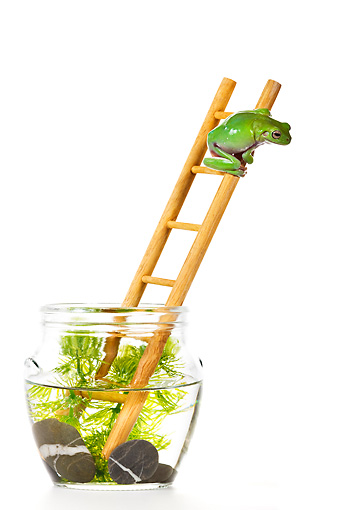 FRG 01 KH0036 01 © Kimball Stock Green Tree Frog Climbing On Ladder In Fish Bowl On White Seamless