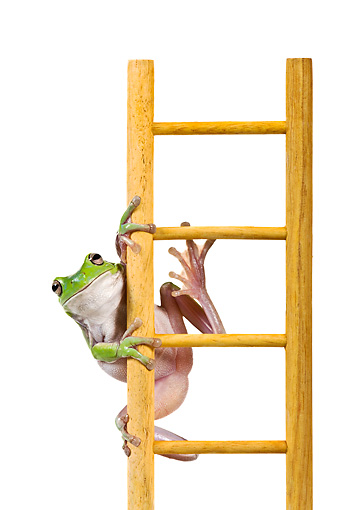 FRG 01 KH0037 01 © Kimball Stock Green Tree Frog Climbing On Ladder On White Seamless