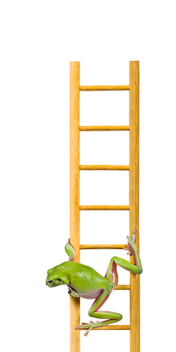 FRG 01 KH0038 01 © Kimball Stock Green Tree Frog Climbing On Ladder On White Seamless