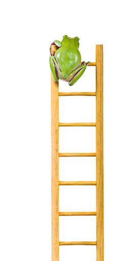 FRG 01 KH0039 01 © Kimball Stock Green Tree Frog Climbing On Ladder On White Seamless