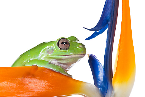 FRG 01 KH0042 01 © Kimball Stock Close-Up Of Green Tree Frog Sitting On Flower On White Seamless