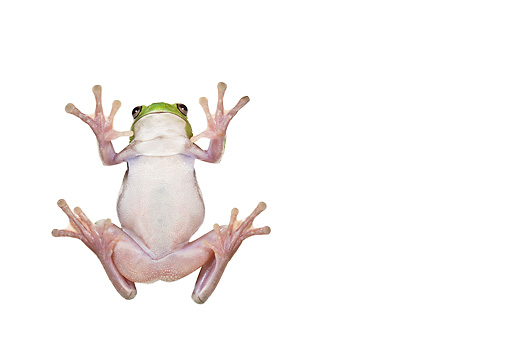 FRG 01 KH0046 01 © Kimball Stock Green Tree Frog Sitting On Glass On White Seamless