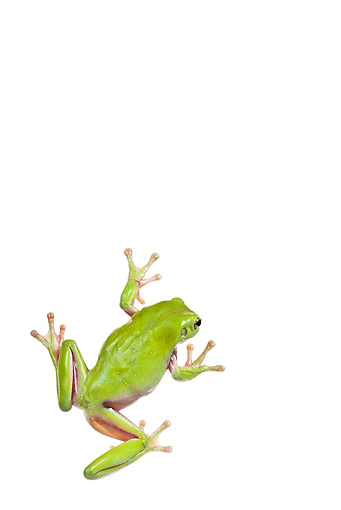 FRG 01 KH0047 01 © Kimball Stock Green Tree Frog Sitting On White Seamless Overhead
