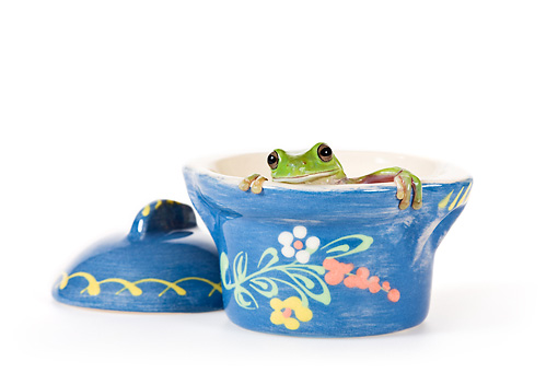 FRG 01 KH0048 01 © Kimball Stock Green Tree Frog Sitting Inside Blue Floral Pot On White Seamless