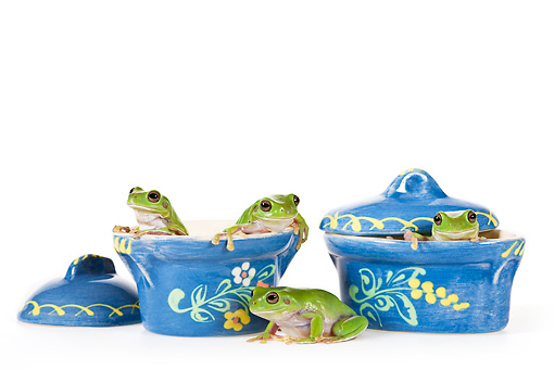 FRG 01 KH0049 01 © Kimball Stock Green Tree Frogs Sitting Inside Blue Floral Pots On White Seamless