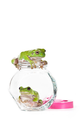 FRG 01 KH0050 01 © Kimball Stock Green Tree Frogs Sitting Inside Glass Bowl On White Seamless