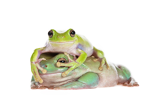 FRG 01 KH0051 01 © Kimball Stock Two Green Tree Frogs Laying On One Another On White Seamless