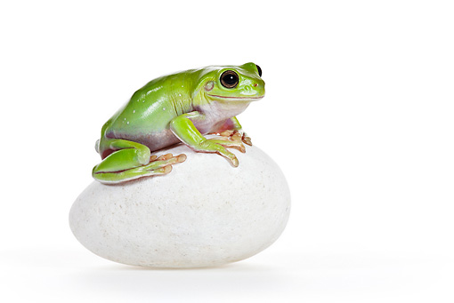 FRG 01 KH0053 01 © Kimball Stock Green Tree Frog Eyes Sitting On Egg Shaped Stone On White Seamless