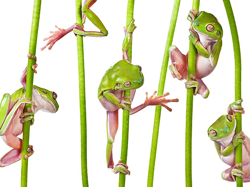 FRG 01 KH0055 01 © Kimball Stock Green Tree Frogs Climbing On Flower Stems On White Seamless