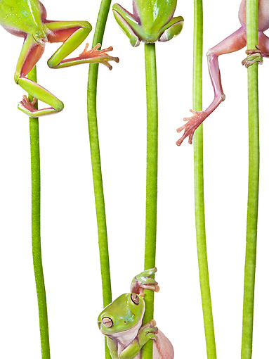 FRG 01 KH0056 01 © Kimball Stock Green Tree Frogs Climbing On Flower Stems On White Seamless