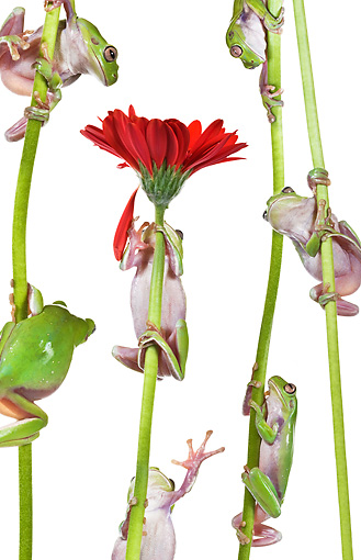 FRG 01 KH0057 01 © Kimball Stock Green Tree Frogs Climbing On Flower Stems On White Seamless