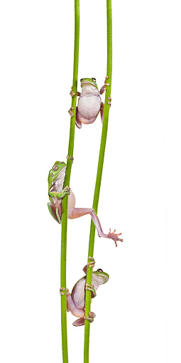 FRG 01 KH0063 01 © Kimball Stock Green Tree Frogs Climbing On Flower Stems On White Seamless