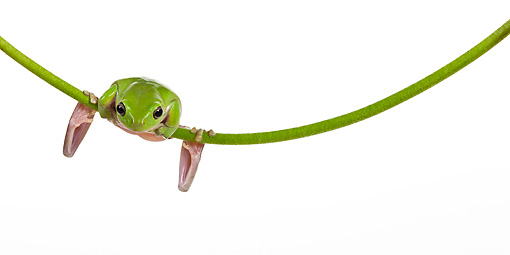 FRG 01 KH0067 01 © Kimball Stock Green Tree Frog Hanging On Flower Stem On White Seamless