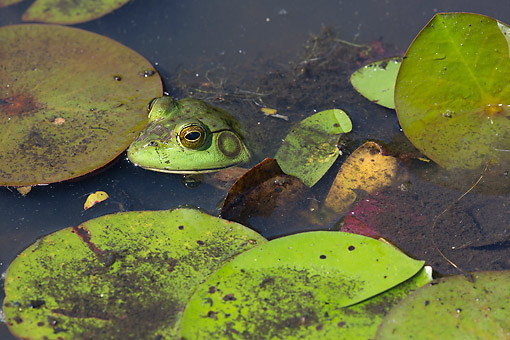 FRG 01 LS0001 01 © Kimball Stock American Bullfrog In White Water-Lily Pads