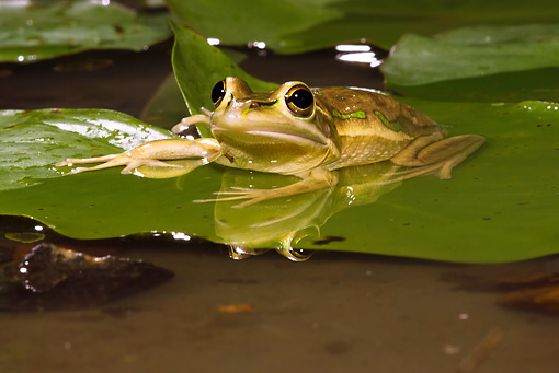FRG 01 MC0003 01 © Kimball Stock Golden Bell Frog Sitting On Lily Pad In Pond