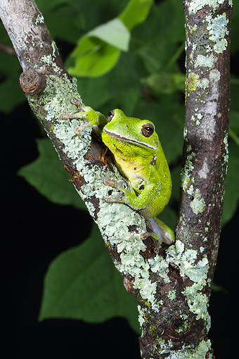FRG 01 MC0007 01 © Kimball Stock Barking Treefrog Sitting On Branch