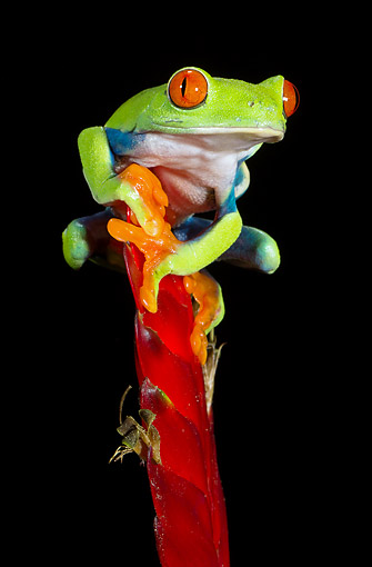 FRG 01 MC0009 01 © Kimball Stock Red-Eyed Tree Frog Clinging To Plant