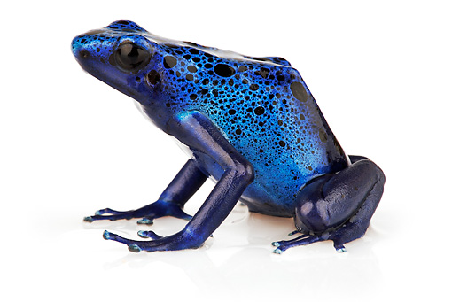 FRG 01 MH0001 01 © Kimball Stock Blue Poison Dart Frog Sitting On White Seamless