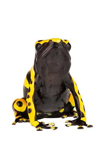 FRG 01 MH0002 01 © Kimball Stock Yellow-Banded (aka Bumblebee or Yellow-Headed) Poison Dart Frog Sitting On White Seamless