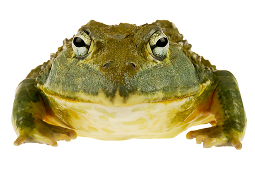 FRG 01 MH0004 01 © Kimball Stock African Bullfrog Sitting On White Seamless