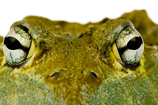 FRG 01 MH0005 01 © Kimball Stock Close-Up Of African Bullfrog Sitting On White Seamless