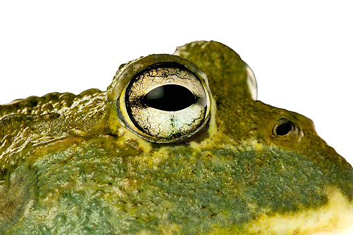 FRG 01 MH0006 01 © Kimball Stock Close-Up Of African Bullfrog Sitting On White Seamless