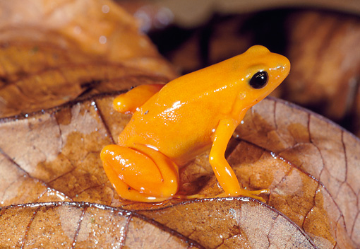 FRG 01 MH0014 01 © Kimball Stock Golden Mantella Frog Sitting On Wet Leaves Madagascar