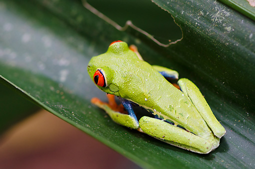FRG 01 NE0001 01 © Kimball Stock Red-Eyed Tree Frog Sitting On Leaf Costa Rica