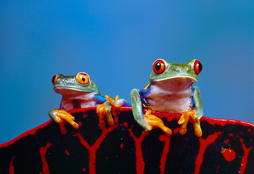 FRG 01 RK0010 10 © Kimball Stock Red Eyed Tree Frogs (Agalychis Callidryas) Sitting On Top  Of Red And Black Leaf Blue Background