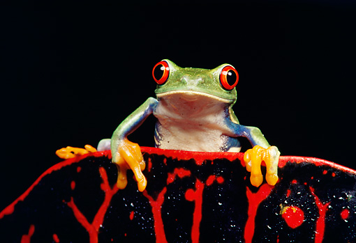 FRG 01 RK0012 04 © Kimball Stock A Red Eye Tree Frog Sitting On Top Of Red Leaf