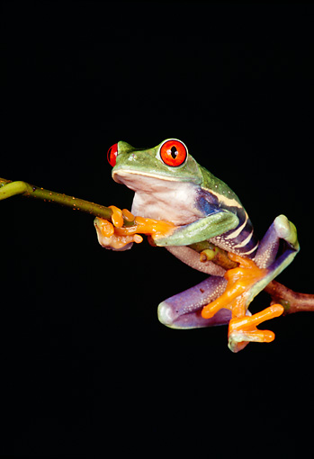 FRG 01 RK0019 03 © Kimball Stock Red Eye Tree Frog Hanging Onto Twig