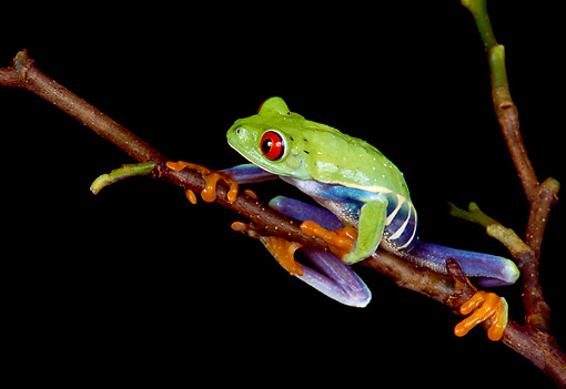 FRG 01 RK0019 35 © Kimball Stock Red Eye Tree Frog Hanging Onto Twig