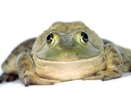 FRG 01 RK0025 03 © Kimball Stock Bullfrog Sitting On Seamless Paper Front View