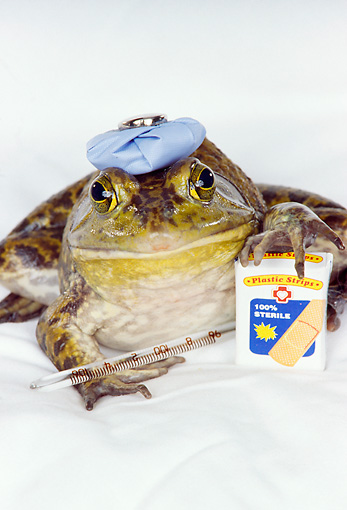 FRG 01 RK0028 01 © Kimball Stock Bullfrog With Ice Bag On Head