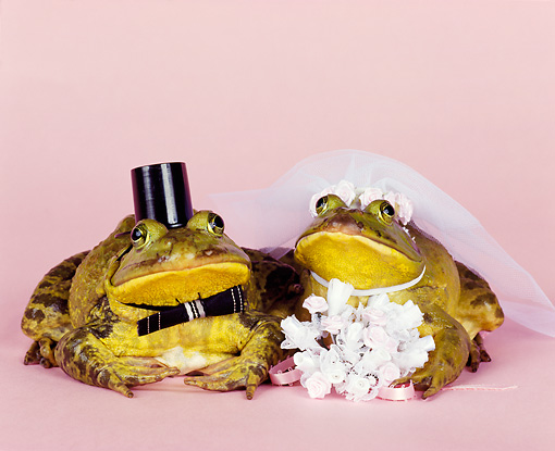 FRG 01 RK0050 19 © Kimball Stock Two Frogs Dressed In Bride And Groom Costume On Pink Seamless Studio