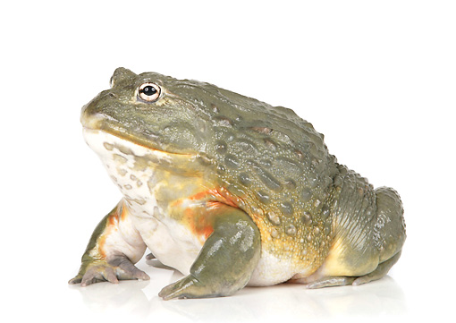 FRG 01 RK0074 01 © Kimball Stock African Bullfrog On White Seamless