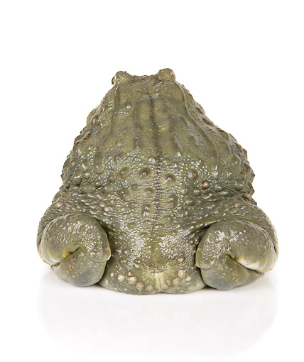 FRG 01 RK0075 01 © Kimball Stock African Bullfrog Rear Shot On White Seamless