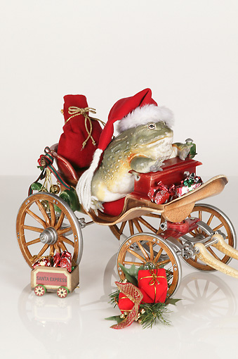 FRG 01 RK0077 01 © Kimball Stock African Bullfrog Sitting In Christmas Sleigh On White Seamless
