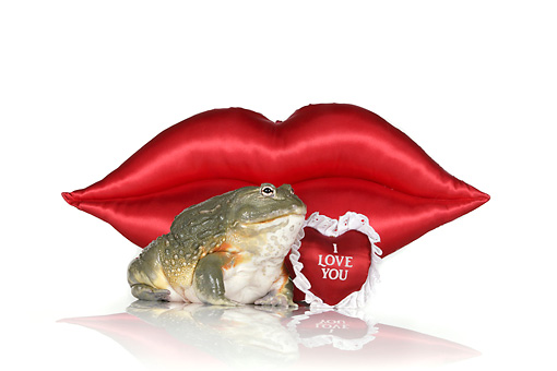 FRG 01 RK0078 01 © Kimball Stock African Bullfrog Sitting By Red Lips And Heart On White Seamless
